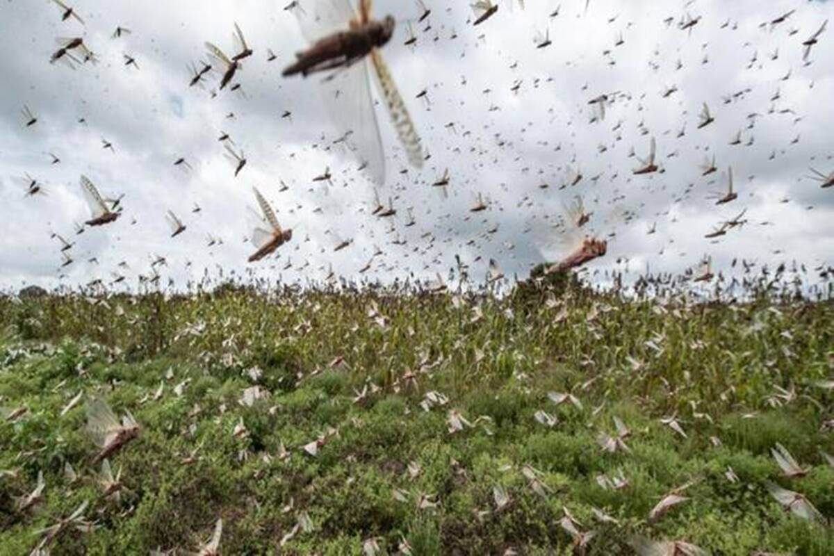 Locust attacks declared natural disaster, states asked to undertake relief operations