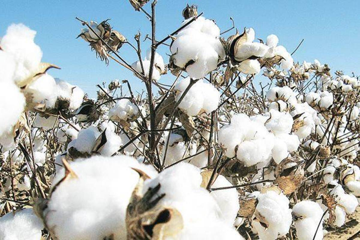 Cotton arrivals rise on fears of fresh Covid-19 wave